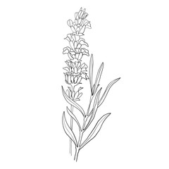 Hand drawn botanical illustration of lavender. Vintage collection of medical herbs and plants. Vector hand-drawn sketch for cosmetics, labels, packages and textiles.