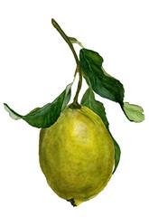 Lemon branch. Watercolor lemon with green leaves. Watercolor branch lemon tree on white background. Hand drawn fruit illustration isolated on white background. Food design. Lemonade