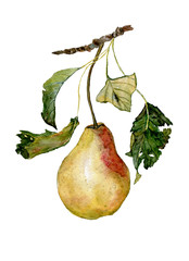 Pear with leaves, hand drawn watercolor painting on white background. Ripe pear with leaves on a branch.