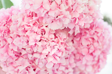 Fotomurales - Bouquet of pink hydrangea. Flowers are blooming in spring and summer at sunset in town garden.