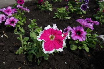 Cerise colored flowers of petunia with white edge of petals