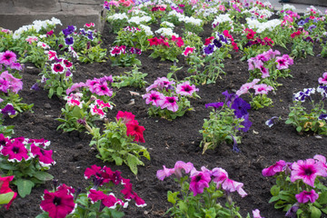 Lots of colorful flowers of petunias in the flowerbed