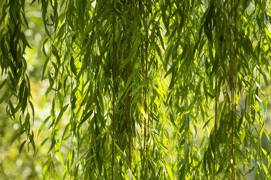 Branches of white willow (Salix alba) falling down. Detail white willow. Branches of a white willow. White willow in sunlight. Beautiful white willow. Salix alba.