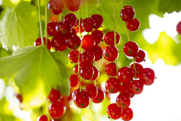 Red currant (Ribes rubrum) on the bush. Ripe red currants. Red currant improve the condition of cevních walls, varicose veins. Summer refreshing full of vitamins. Redcurrant.