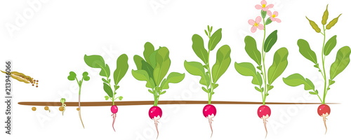 radish life cycle consecutive stages of growth from seed. Black Bedroom Furniture Sets. Home Design Ideas