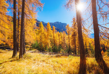 Magical yellow larches. Location place Dolomiti Alps, Cortina d'Ampezzo, Italy, Europe.