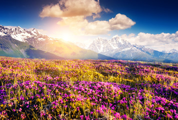 Magical pink rhododendron flowers. Location place Upper Svaneti, Georgia, Europe. The main Caucasian ridge.