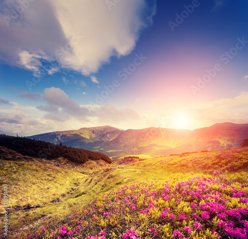 Wall mural Magical pink rhododendron flowers in day light. Location place National park Chornogora, Carpathian.