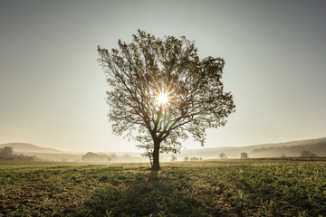Single tree in field during amazing sunrise. Sun peaking through the tree and its branches. Wonderful sun rays. Rural countryside landscape scene.