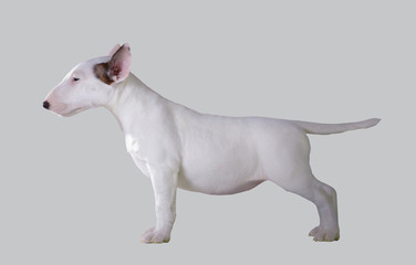 Bull Terrier puppy.