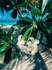 Tuinposter Frangipani Maldives island plumeria frangipani tree flower in a luxury resort