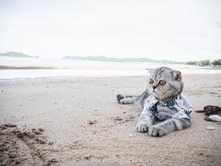 Scottish fold cat wearing a shirt at the beach.