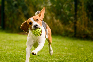 Beagle dog pet run and fun outdoor. Dog i garden in summer sunny day with ball having fun Wall mural