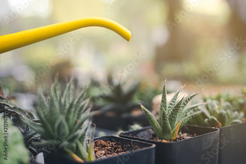watering small aloe vera in pot with another type of interior plant ...