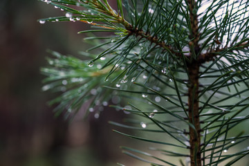 Dew on pine branches. Closeup of drops on needles.