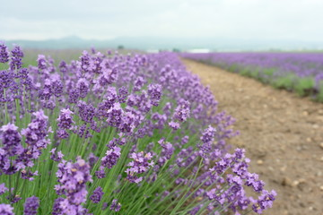 Close up of fresh lavender flowers in Furano, Hokkaido, Japan