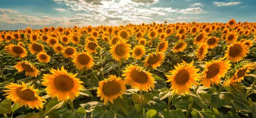 Wall Mural - Blooming sunflower crop field