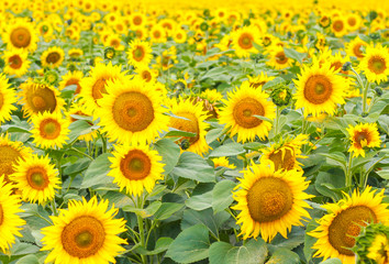 beautiful plantation of sunflowers. Yellow sunflowers in the field