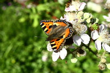 The butterfly collects nectar on the garden BlackBerry. Close up