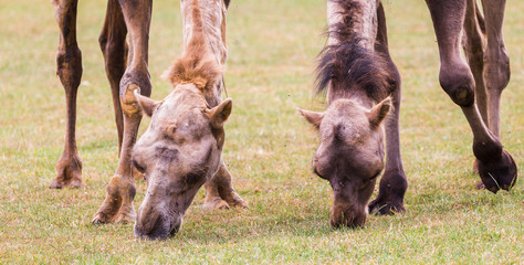 Letterbox crop of a pair of Bactrian camel feeding in Gloucestershire during the summer of 2018.