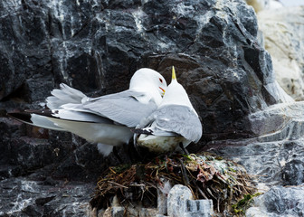A pair of mating Kittywakes, Sea Birds, at nest, on rocks at the Farne Islands, Northumberland, England, UK.