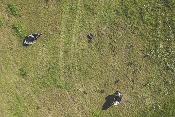 Drone aerial view of cows