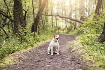Dog beagle on green meadow path