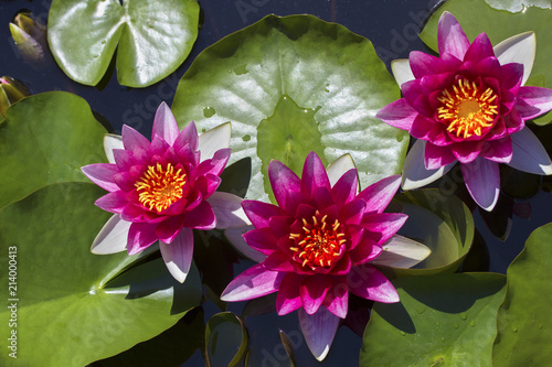The beautiful red lotuses pink water lilies the old pond is the beautiful red lotuses pink water lilies the old pond is decorated with a mightylinksfo