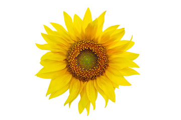 One sunflower close up isolated on white background