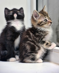 two small kittens on the windowsill look out the window