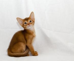 kitten Abyssinian