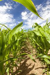row with corn