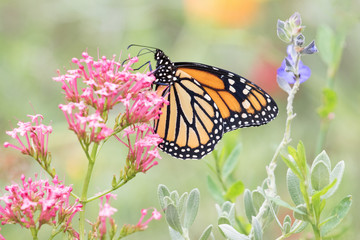 Photograph of a Monarch Butterfly feeding from pink flowers in the garden