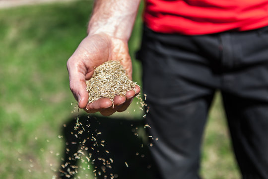 Man sows a handful of grass seeds by scattering them around.