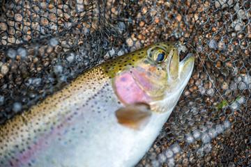 Flyfishing Trout in Net