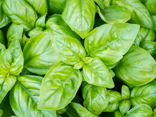 Closeup of the vibrant green leaves of basil