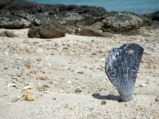 Close up of a big seashell sticking up out of the sand on a beach with rocks and ocean in the background.
