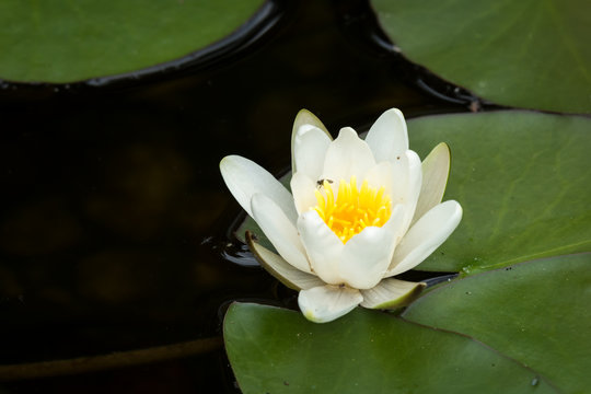 Flowering white water lily on a sunny day in summer