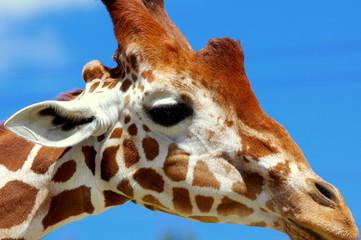 Zbliżenie głowy żyrafy na tle błękitnego nieba