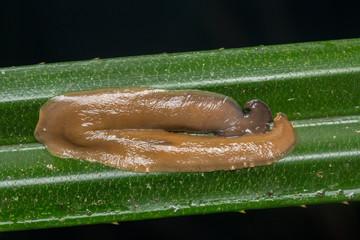 Macro image of slug of borneo