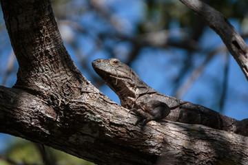 Iguana en árbol