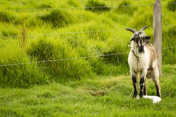 goat on grass field