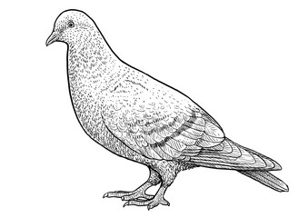 Pigeon illustration, drawing, engraving, ink, line art, vector
