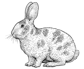 Rabbit illustration, drawing, engraving, ink, line art, vector