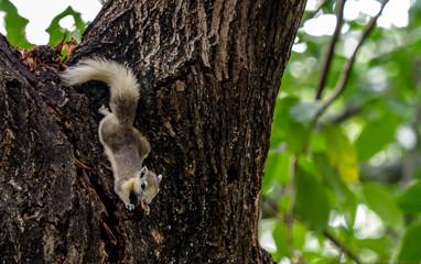 Variable squirrel (Finlayson's squirrel, Callosciurus finlaysonii) eating on tree trunk, Thailand