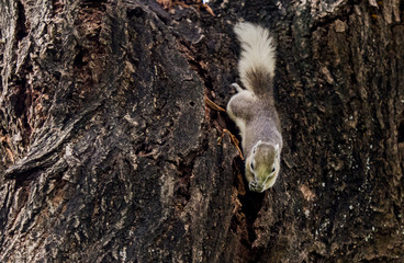 Variable squirrel (Finlayson's squirrel, Callosciurus finlaysonii) eating on tree trunk, Thailand