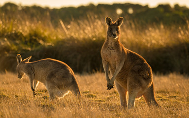 Fotobehang Kangoeroe Kangaroo in open field during a golden sunset
