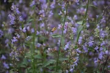 Lavender flower garden and bee