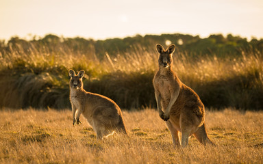 Foto op Plexiglas Kangoeroe Kangaroo in open field during a golden sunset