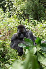 A Silverback Gorilla (Gorilla gorilla gorilla) - Rwanda